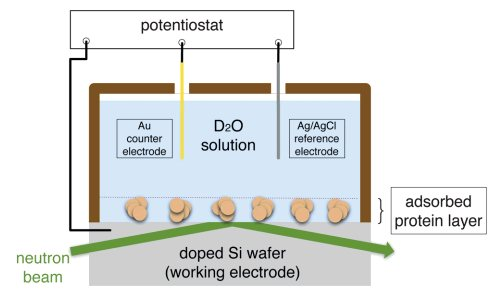Slow and remanent electric polarization of adsorbed BSA layer evidenced by neutron reflection