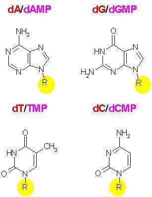 Interaction des monomères de l'ADN avec l'UV