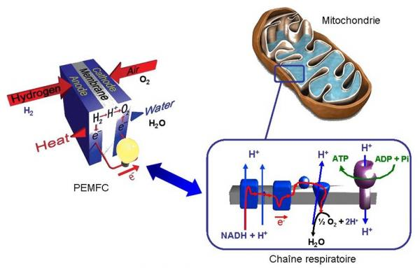New 'biomimetic' membranes with proton conduction for PEMFC fuel cells