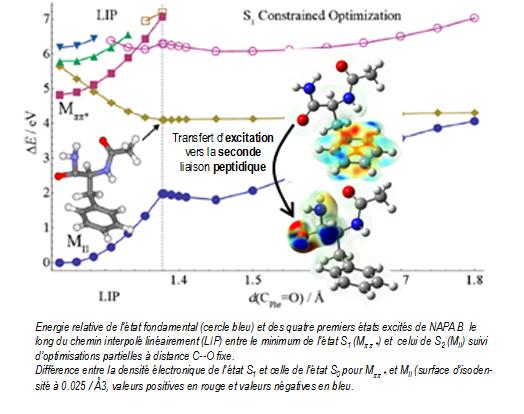 Dynamique de peptides en phase gazeuse et photostabilité des protéines