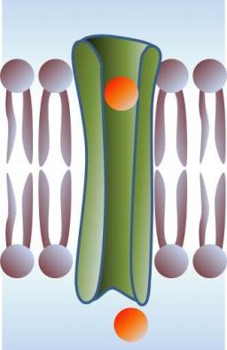 Mécanisme physique de l'inclusion de molécules dans les membranes biologiques : formation de pores