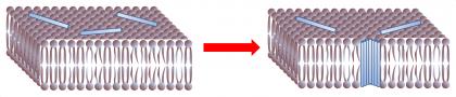 Mécanisme physique de l\'inclusion de molécules dans les membranes biologiques : formation de pores