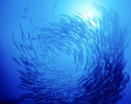 Comment un banc de poissons passe-t-il d\'un comportement collectif à l\'autre?