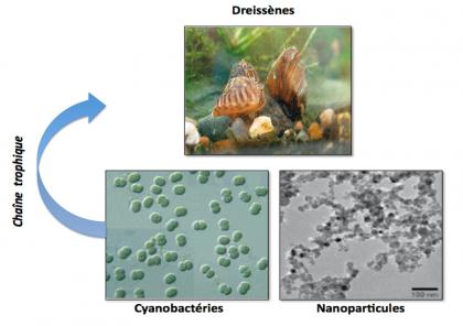 Nanoparticules : une méthode pour étudier les faibles doses