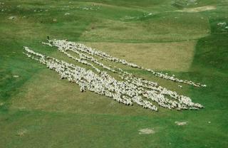 Manger et ne pas être mangé : les deux impératifs à l\'origine du comportement critique des troupeaux de moutons