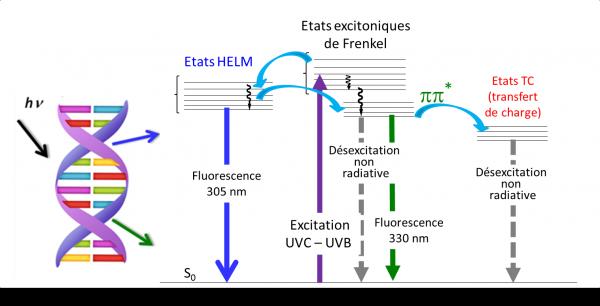 Excitation UV de l'ADN  : une nouvelle voie de relaxation excitonique
