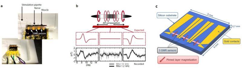Mesure magnétique locale de signaux biologiques