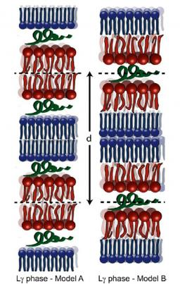 Unravelling a mechanism of action for a cecropin a‑melittin hybrid antimicrobial peptide: the induced formation of multilamellar lipid stacks