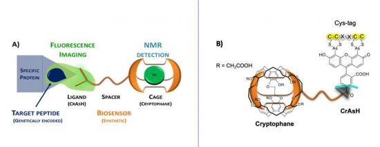 Sonde bimodale fluorescence –RMN pour la détection spécifique des protéines