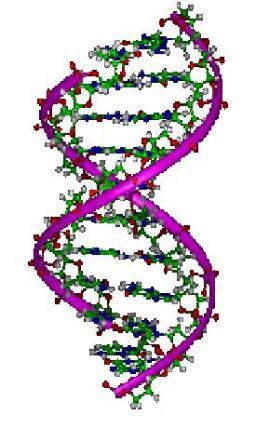 Interaction du rayonnement UV avec des hélices d'ADN